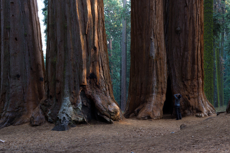 Woman taking a picture of a grove o sequoia trees in the Sequoia NP