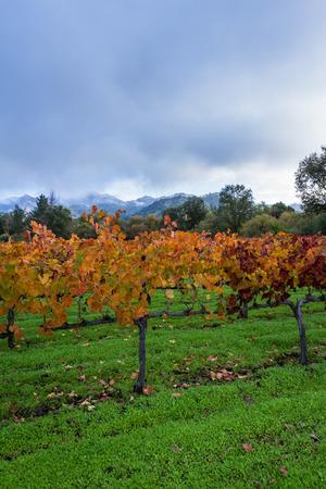 poquito: Colorido otoño viñedo en Calistoga California temprano en la mañana con un poco de niebla en el fondo