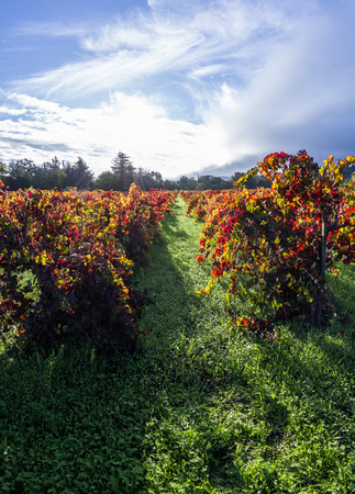 thru: colorful autumn vineyard in Calistoga California early morning with the sun breaking thru the fog in the background
