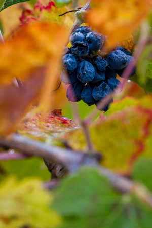 group of grapes still on the vine with autumn colors on the leaves and moisture drops from the morning due