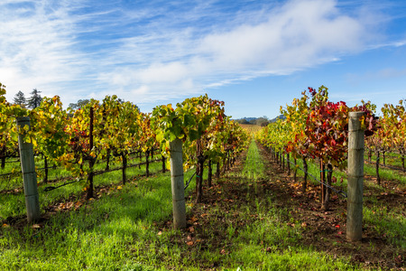 beautiful vineyard in Alexander Valley California with vivid autumn colors early in the morning