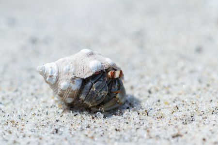 close up of a small hermit crab on a sandy beach in the pacific coast of Panama