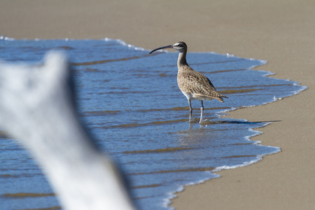 Long bill curlew is the largest sandpiper of regular occurrence in North America, seen here walking on Junquillal Beach in Costa Rica.