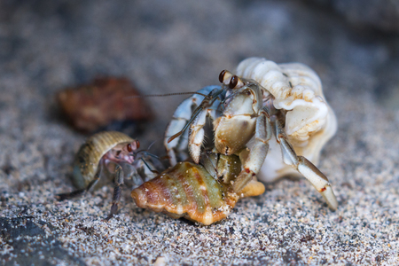close up of small hermit crabs walking on sand covered volcanic rock in a beach in Costa Rica Stock Photo