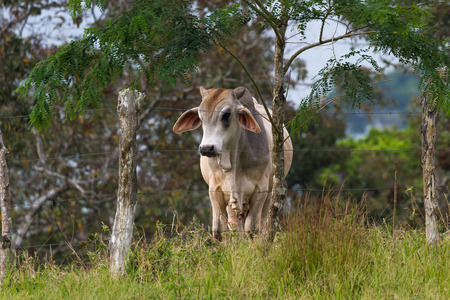 young cow standing by a barbed wire fence looking at the grass on the other side