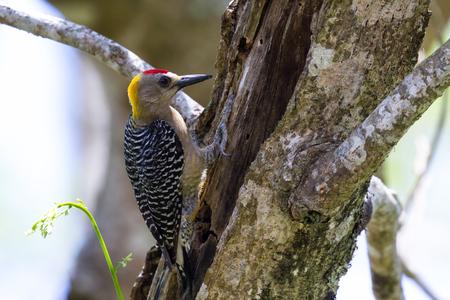 turismo ecologico: Pequeño pecker de madera en busca de alimentos en un gran árbol de Guancaste en la selva tropical Cost Rican Foto de archivo