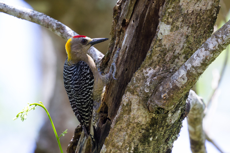 woodpecker: small wood pecker searching for food on a large Guancaste tree in the Cost Rican rain forest