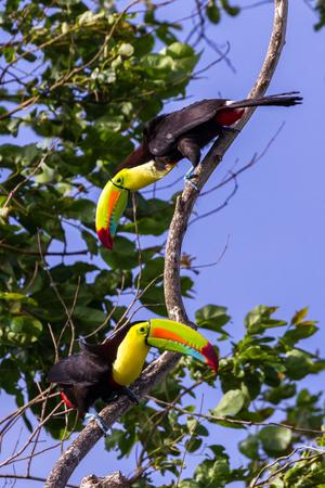 野生のキールは、箱および手形の鮮やかな色と、コスタリカのオオハシを請求されます。 写真素材
