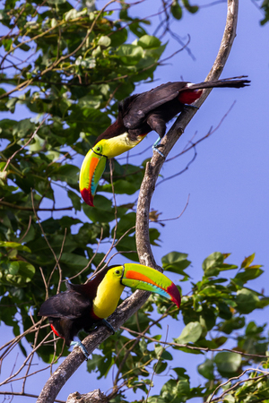 wild keel billed toucans in Costa Rica with  vivid colors on their chest and bills.