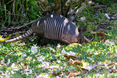 close up of a nine banded armadillo in a yard looking for insects on the ground.