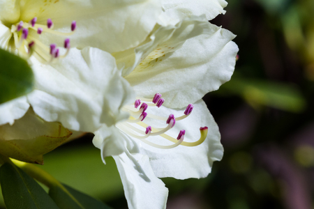 ericaceae: close up of a beautiful white rhododendron blooming in northern Idaho Stock Photo