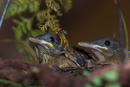 two young yiguirros in a nest sitting perfectly still waiting for their parents to come back with food