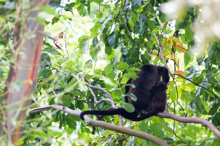 howler: cute scene with a baby howler  and his mother climb and enjoy the view of the jungle in Guanacaste, Costa Rica