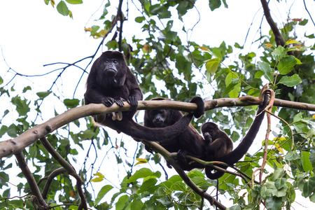 family of howler monkeys resting on a limb up a very tall madrone tree in the jungle of Costa Rica
