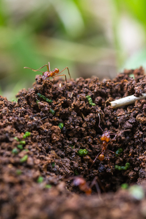 close up of a dirt mound in Costa Rica with leaf cuter ants crawling in and out of it Stock Photo