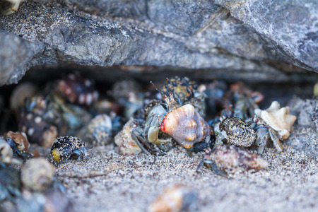 Group of hermit crabs in a small cave or hole in a rock in a beach in Costa Rica