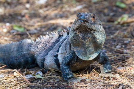 cold blooded: close up of a large Iguana in the northern pacific beach of Costa Rica with an interesting bluish color.