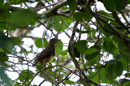 Clay colored thrush, just a couple of weeks old learning how to fly and survive in Costa Rica