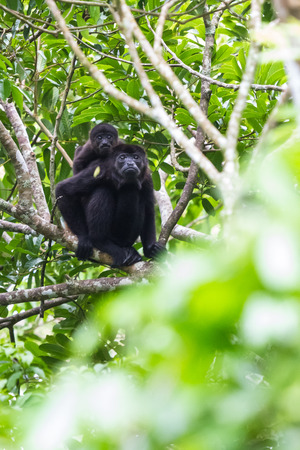 howler: Baby monkey holding on to his moms back as the maneuvers thru the jungle in Costa Rica