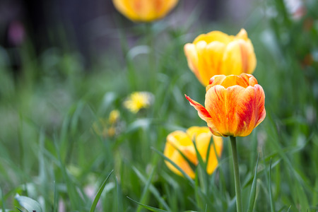 close up of a tulip growing in a home garden with tall grass around it Banco de Imagens - 80241957