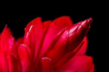 close up of a vivid red ginger bloom isolated on a black background