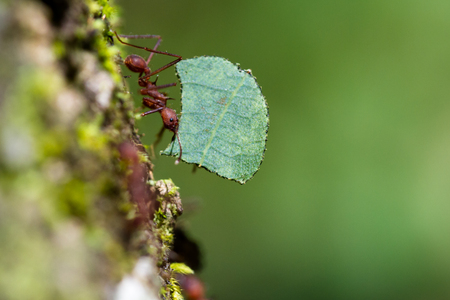the strongest: close up of a leaf cutter ant carrying a large leaf to her nest