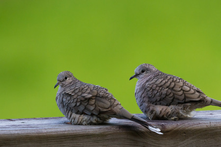 close up of a couple of love doves perched on a wooden railing  with a green grass background