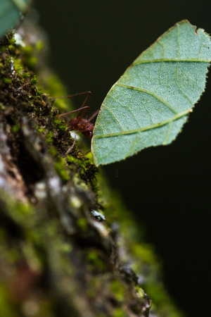 close up of a leaf cutter ant carrying a large leaf to her nest