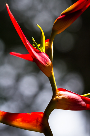 close up of a beautiful tropical Heliconia latispatha with vivid colors ranging from yellow to red Stock Photo