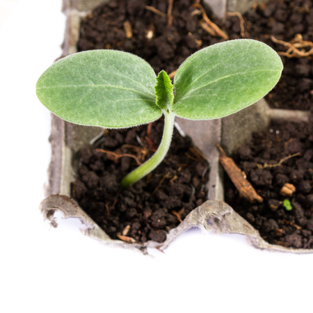 owning: close up of a small squash plant growing in a recycled egg carton isolated on a white background