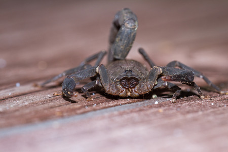 Large dark brown scorpion found on a set of wooden stairs in the Costa Rican Rainforest