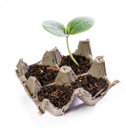 close-up van een kleine squash plant groeit in een gerecycleerd ei karton geïsoleerd op een witte achtergrond Stockfoto