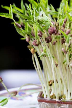 close up of a group of green soybean sprouts with long stems and green leaves Stock Photo