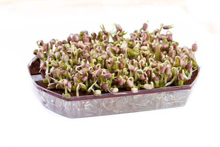 close up of a sprouting tray with green soy beans growing after just two days of sprouting Stock Photo