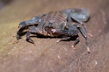 Large dark brown scorpion found climbing up a wooden pillar in the costa rican Rainforest