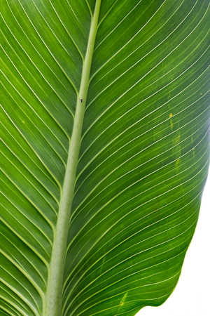 close up of a broad tropical green leaf as a background or texture Stock Photo