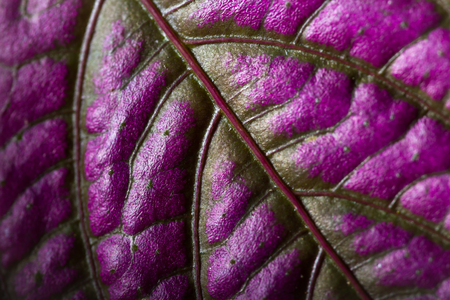 macro of the texture of a small purple leaf with veins and cells