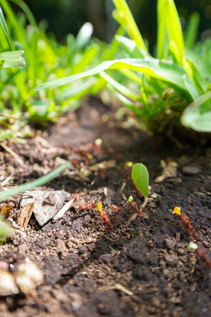 amazing workers these leaf cutter ants working together walking on the same trail so often that they have carved a permanent path thru the grass.