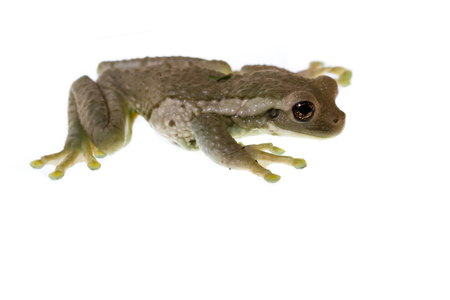 rain forest animal: small tropical frog found in the rainforest of Costa Rica isolated on a white background Stock Photo