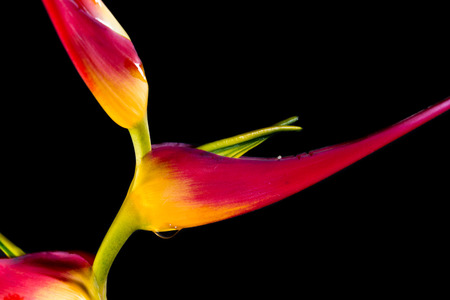 close up of a beautiful tropical Heliconia latispatha with vivid colors isolated on a black background
