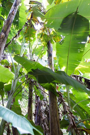 huge tree: small banana grove in the tropical jungle of Costa Rica. Banana plants have large green leaves and only produce fruit once in their life.