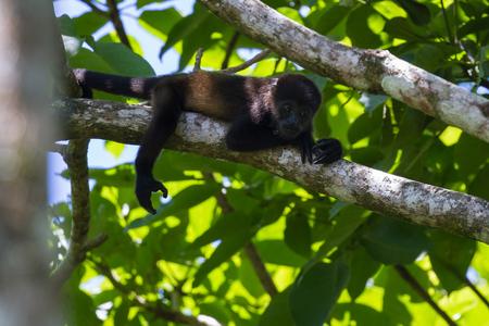 turismo ecologico: cerca de un mono mono aullador hasta un árbol en la selva tropical de Costa Rica