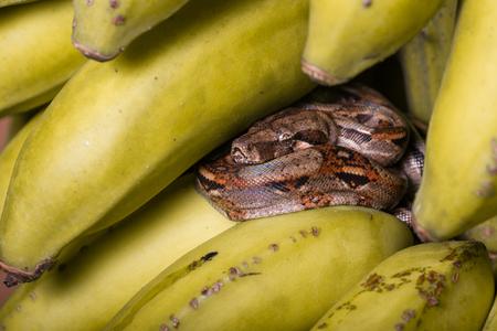 ちょうど収穫した黄色いバナナを熟成の束で休んで若いボアコンストリクター