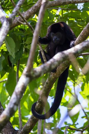 turismo ecologico: cerca de un mono aullador hasta un árbol en la selva tropical de Costa Rica