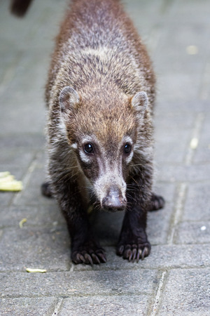 close up of a white nosed coati walking on pavers near Nacascolo Beach in Costa Rica Stock Photo