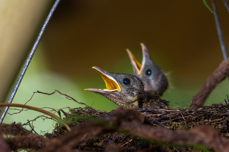 close up of a baby bird in his nest calling for mom to bring food, the Yiguirro is the national bird of Costa Rica