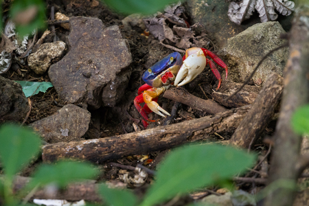 colorful crab in the rainforest floor with blues and orange contrasting with the dark soil