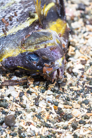 close up of a small dead tropical fish on the beach with small slugs and insects eating away the flesh
