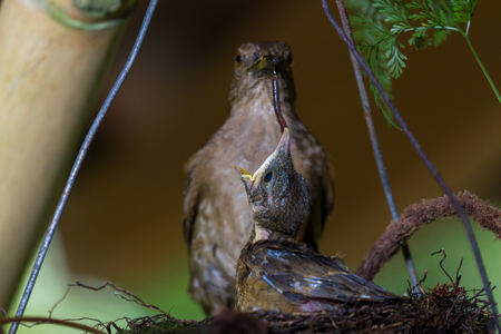 mother feeding the baby birds with a nightcrawler she found in the yard Stock Photo