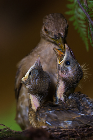 mother feeding the baby birds with an insect she found in the yard